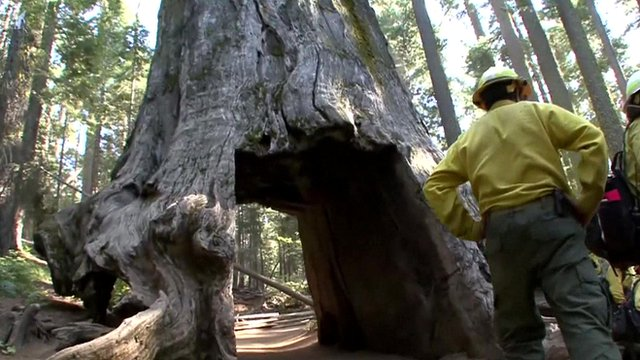Fire crews look on a giant sequoia