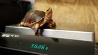 Trudie, a McCordie Box Turtle, is weighed at Whipsnade Zoo near Dunstable, Beds as part of their annual weigh-in