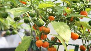 Pumpkin chillies