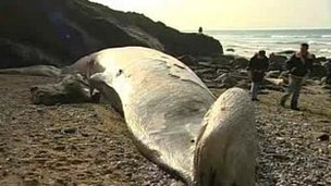 Washed up Fin whale