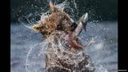 Sockeye catch: A bear catches a sock-eye salmon, spilling its eggs