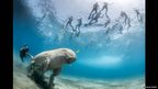 The pull of the dugong: A dugong swims beneath tourists