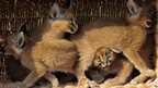 Caracal cubs sit in a bask at the Animal Park zoo in Berlin (30 August 2013)