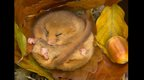 Dormouse hibernating (c) Danny Green / BWPA