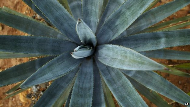 "In this 5 October, 2004 file photo, a three-year-old ""blue agave"" plant, the prime material for the production of Tequila, grows in a Casa Cuervo agave field near the town of Tequila, Mexico."