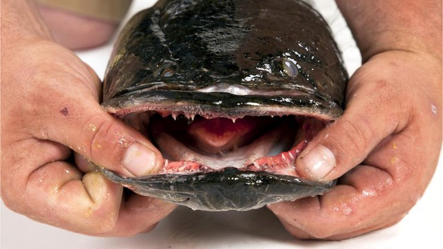 A Snakehead fish