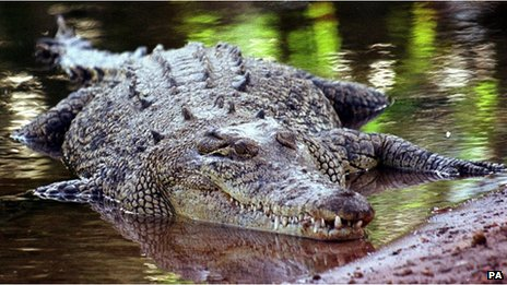 File photo: a saltwater crocodile