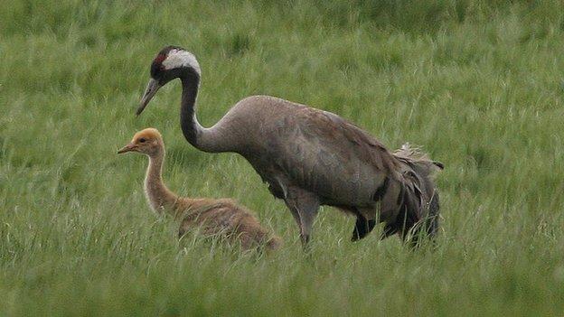 Crane and chick