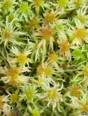 Sphagnum moss (Image: Science Photo Library)