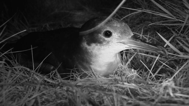Manx shearwater at night