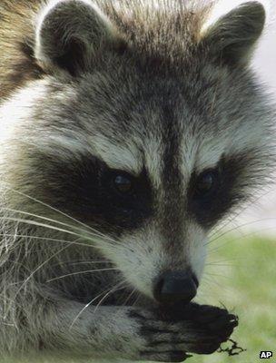 Racoon (Image: AP)