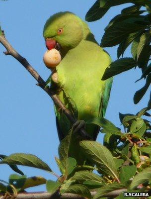 Rose-ringed parakeet (Image: IUCN/Riccardo Scalera)
