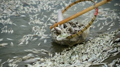 A man removes dead fish from the Fuhe river, Hubei province, China