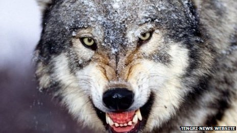 A Kazakh wolf
