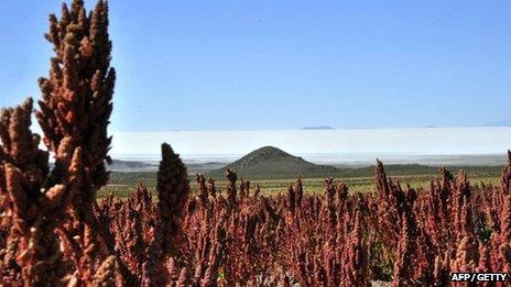 Quinoa in a field in Bolivia
