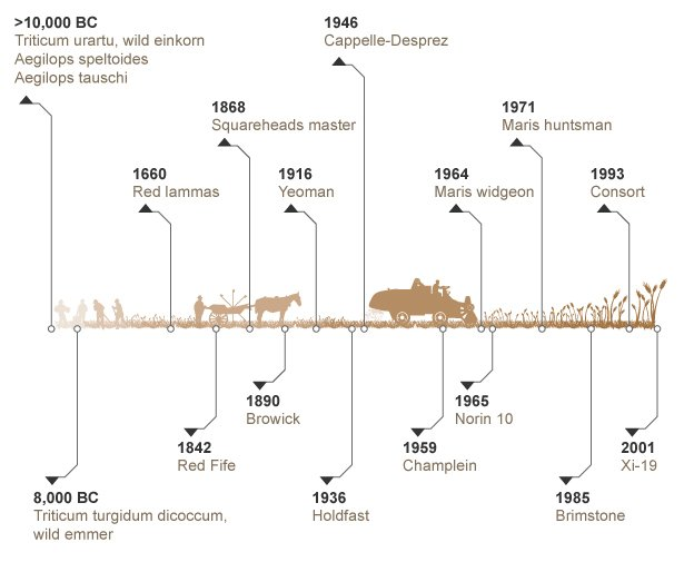 Wheat development timeline