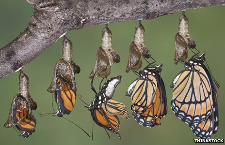 Butterflies emerging from Chrysalis