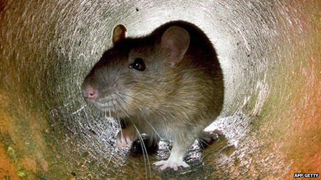 Rat in a drainpipe