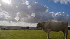 Cows standing in a grass field. Sun shining though cloud, rain spots on the lens.