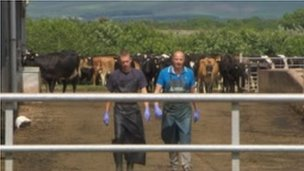 Leading the cows into the milking shed