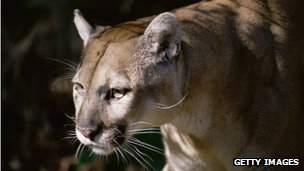 A stock photograph of a cougar