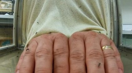 A hand in a mosquito cage was not attractive when covered with the chemical