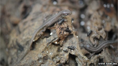 Sand lizards with beetles