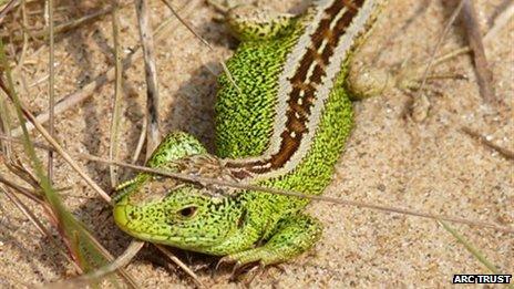 Male sand lizard
