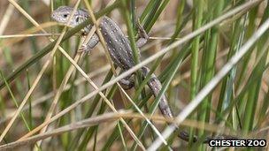 Sand lizard released onto grasses in sand dune habitat