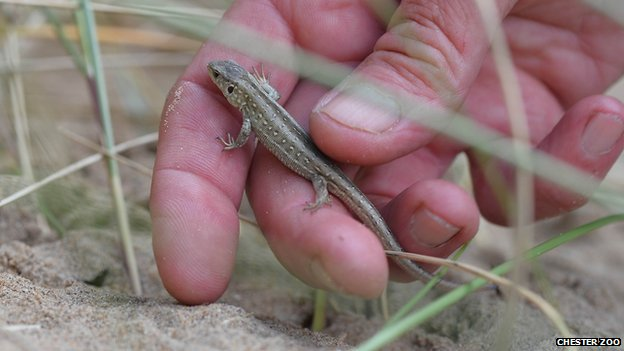 Juvenile sand lizard released