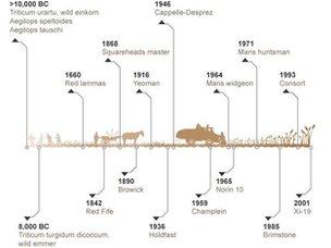 Wheat timeline