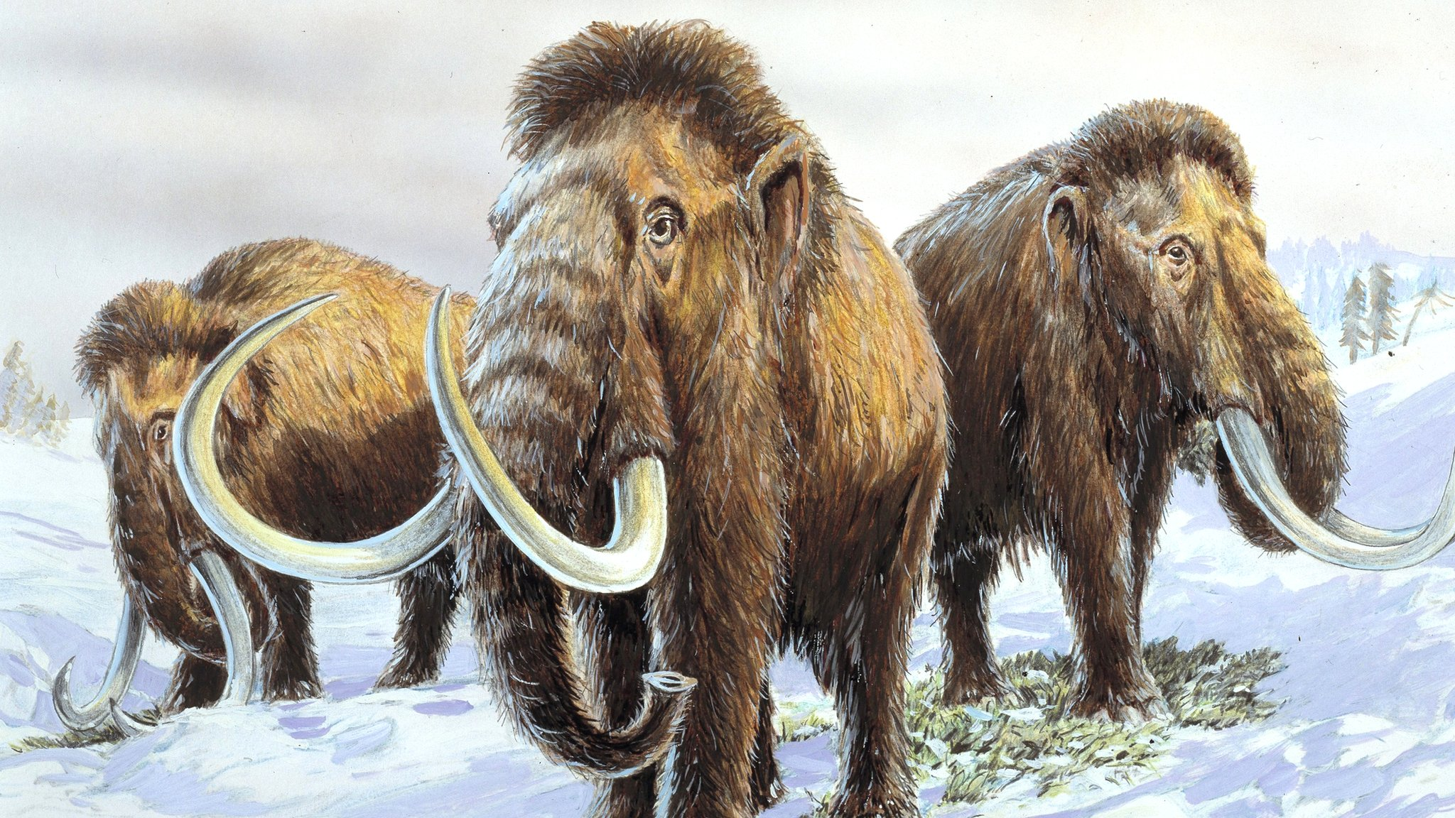 New theory about woolly mammoth extinction revealed - CBBC Newsround