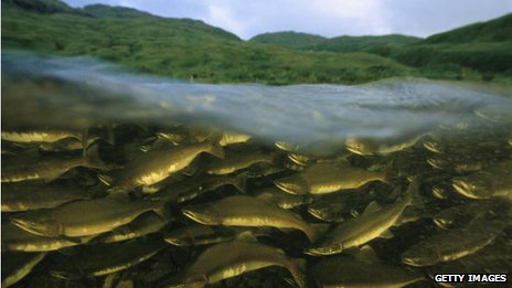 A stock photograph of pink salmon swimming upstream in Alaska