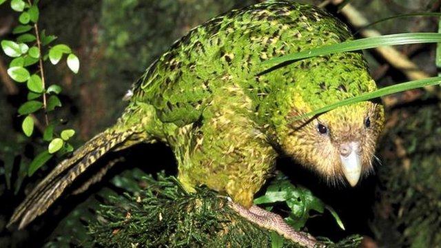 Kakapo (c) Photolibrary.com
