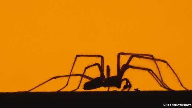 House spider in silhouette