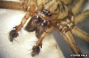 Male house spider palps