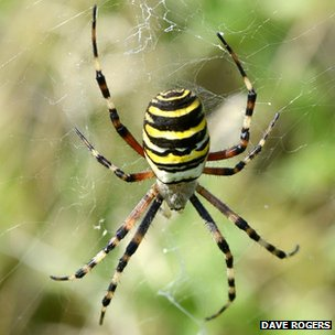 Wasp spider at RSPB Lakenheath Fen
