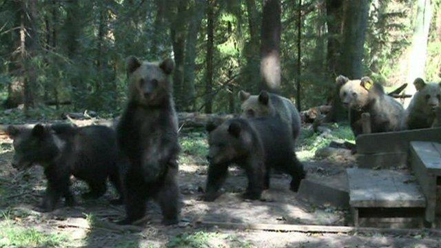 Bear cubs walking near the rehabilitation centre