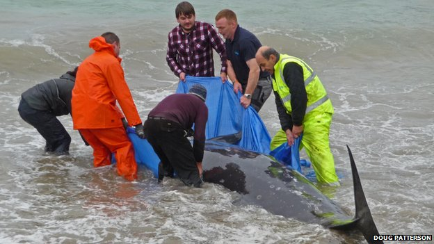 Rescuers with stranded Sowerby's beaked whale