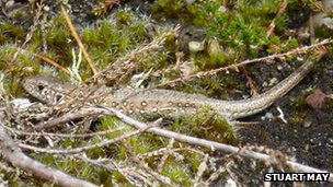 Juvenile sand lizard is released on Farnham Heath