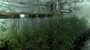Cannabis plants recovered in Carlisle