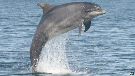 A bottlenose dolphin jumping from the sea