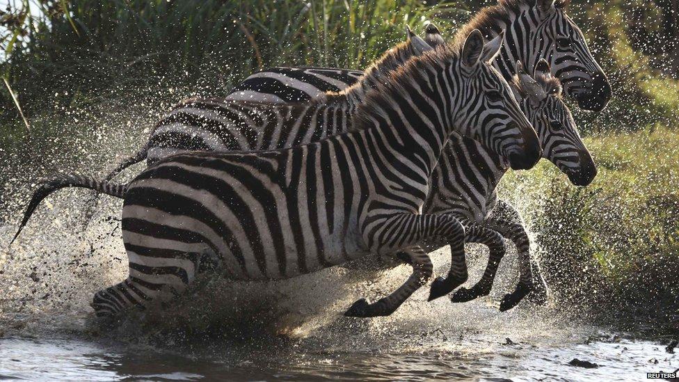 Zebras Running Through Water Africa in pictures: 13...