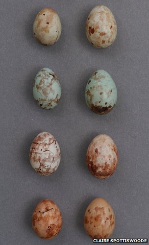 Prinia eggs and cuckoo eggs