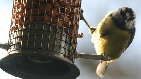 Blue tit feeding on nuts in garden