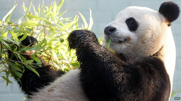 Male giant Panda Yang Guang (Sunshine) relaxes with some bamboo in hand in his enclosure