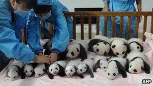 New-born panda cubs