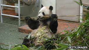 Yang Guang, the male Panda at Edinburgh Zoo