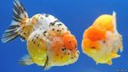 Two giant Ranchu fish