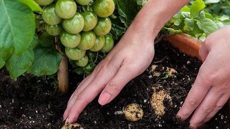 Tomato-potato hybrid plant unveiled